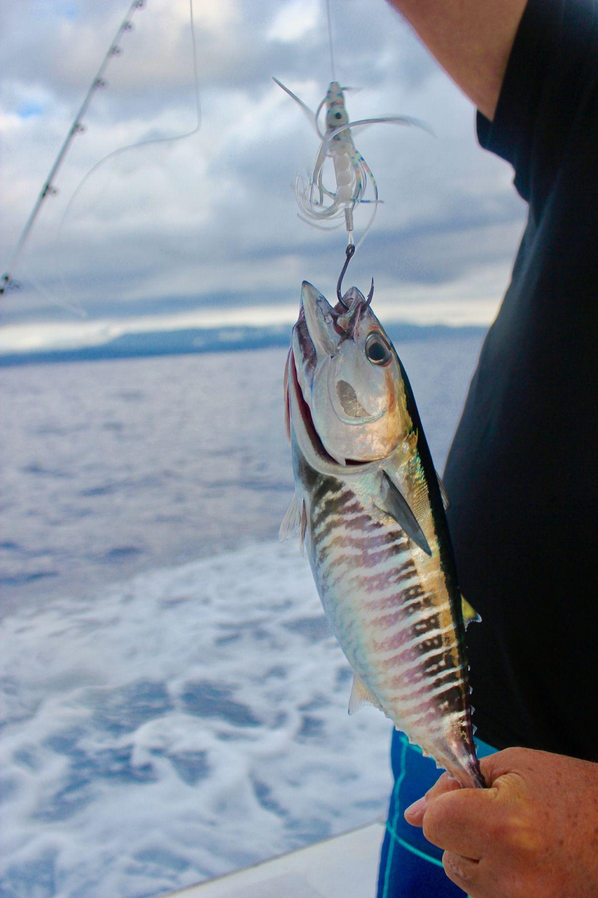Au Train Mi >> Pêche à la traîne technique pour le thon