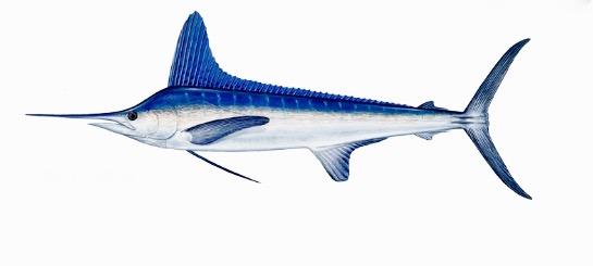 record marlin blanc