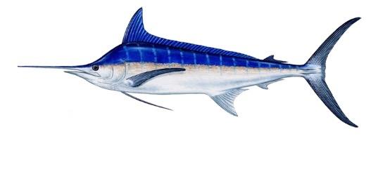 marlin blanc