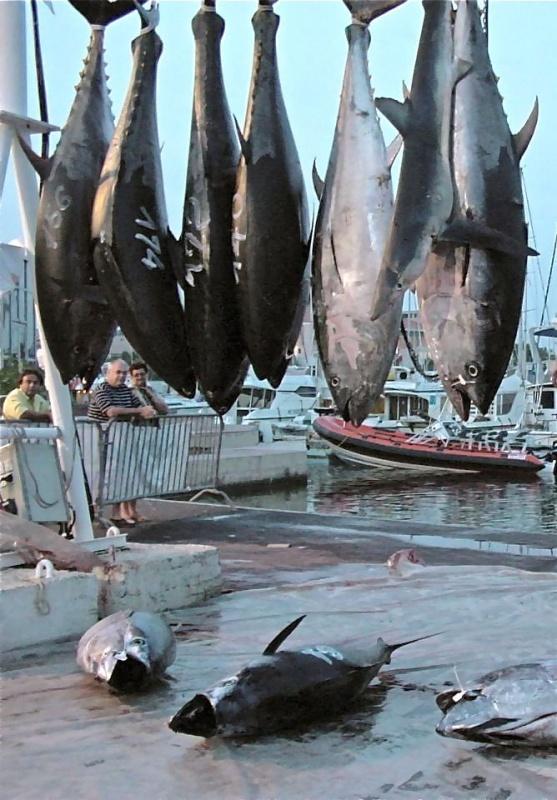 Thons rouges et requin peau bleu