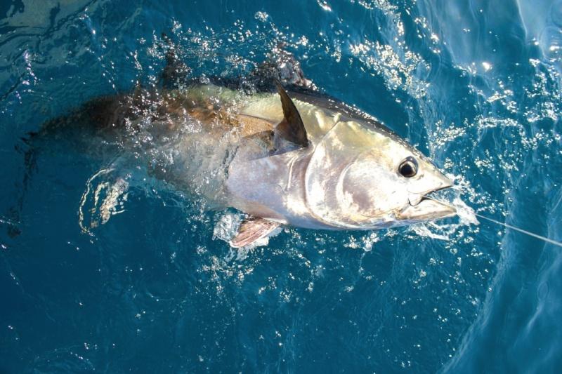 pêche au thon 80 lbs
