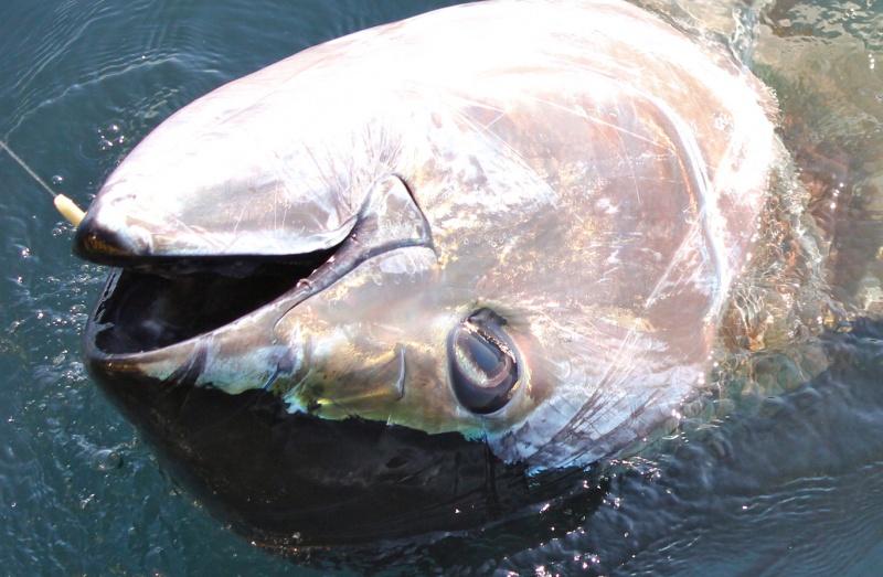 peche au gros thon