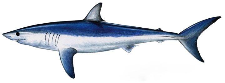 Requin Mako: Isurus oxyrinchus