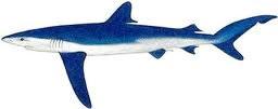 blue shark fishing algarve