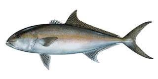 yellowtail fishing algarve