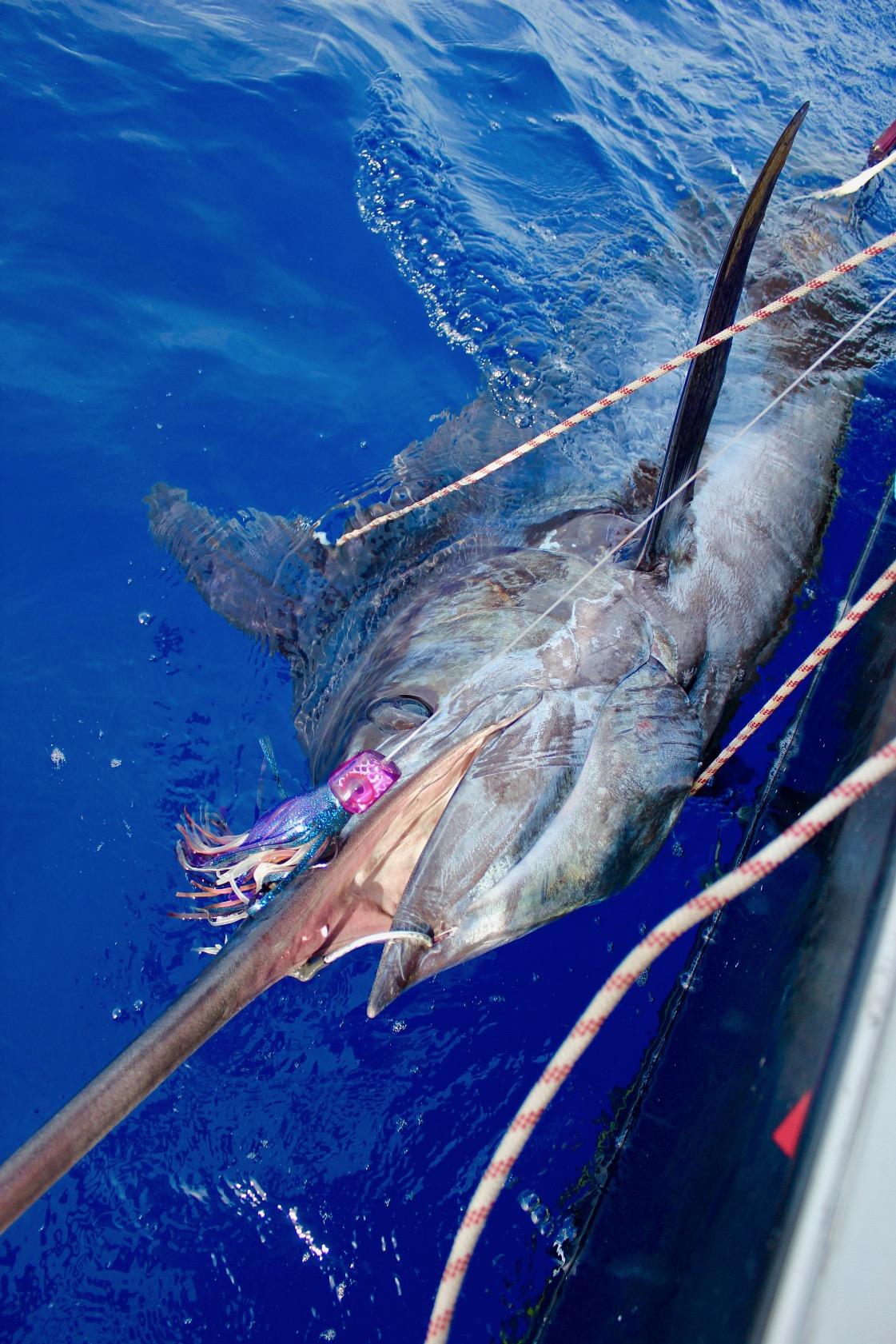 peche au gros - marlin bleu 800 lbs