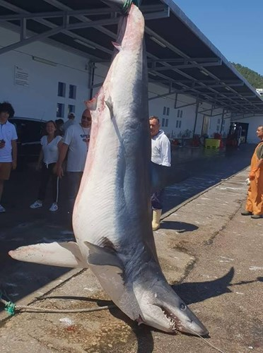 requin mako 1000 lbs
