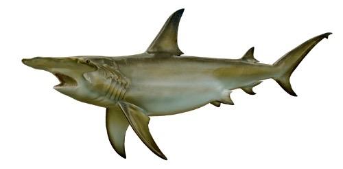 saison requin marteau